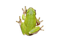cute european green tree frog isolated over white background
