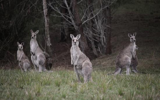 Mob of kangaroos in bushland
