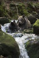 im kühlen Nass... Europäische Braunbären *Ursus arctos*
