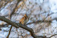 Fieldfare on a branch sitting and looking