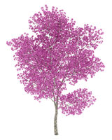 red lapacho tree isolated on white background