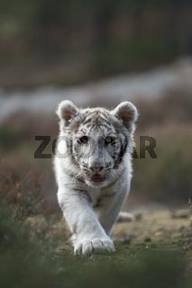 auf leisen Pfoten... Königstiger *Panthera tigris*