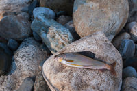 grayling on pebble