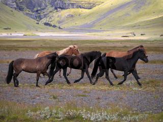 Pferde auf Island