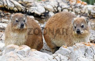 Klippschliefer, Südafrika, Rock Dassies, South Africa