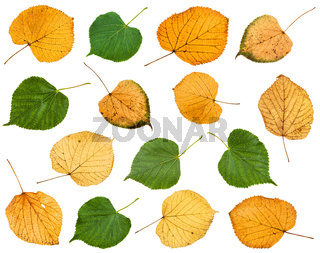 set of various leaves of linden trees isolated