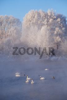 Swans and ducks in mist on altai lake Svetloe