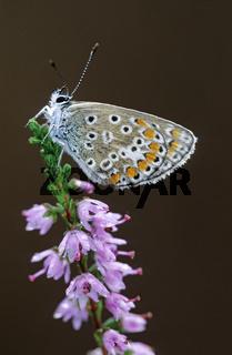 Hauhechel-Blaeuling ist weitverbreitet und haeufig in Europa und Asien zu beobachten  -  (Gemeiner Blaeuling - Foto Maennchen) / Polyommatus icarus
