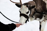 Reindeer Rangifer tarandus is in harness on holiday. woman is feeding deer with hands.