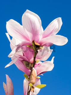 Pink Magnolia Blossoms and blue sky