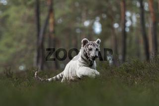 behende... Königstiger *Panthera tigris*