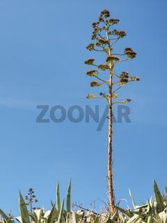 Eine Agave mit Blütenstand vor blauem Himmel