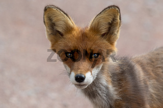 A red fox in a national Park Finland