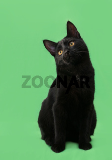 Beautiful cat of black coloring on green background