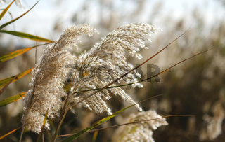 Fluffy grey grass in the field