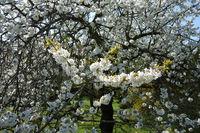 Prunus avium, Suesskirsche, Sweet Cherry