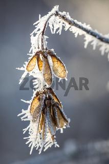 Ahorn Samen bei Frost