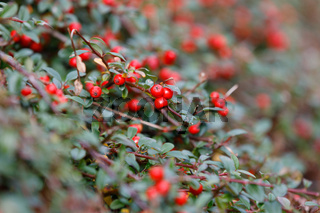 autumn berries red gaultheria