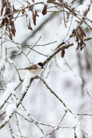 Marsh tit in wintry forest
