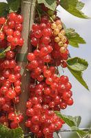 Rote Johannisbeeren (Ribes rubrum)