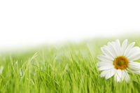 White daisy flower in green grass