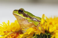 prince frog in dandelion flower ( Hyla arborea