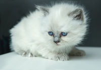 Portrait of white Kitten.