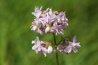 Common soapwort, Saponaria officinalis, Seifenkraut