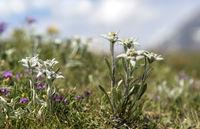 Alpen-Edelweiss (Leontopodium alpinum Cass.)