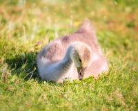 Gosling Chick Sitting in a Grassy Field