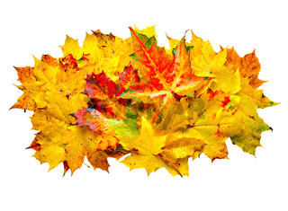 Colorful wet maple leaves.
