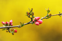 japanese violet cherry flowers over yellow out of focus background