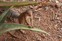 afrikanisches Hörnchen