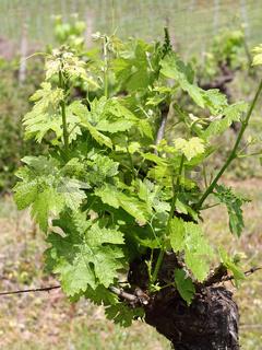 Weinstock in der Toskana