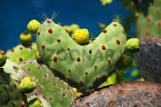 Galapagos prickly pear in heart shape on Rabida Island, Galapagos National Park, Ecuador