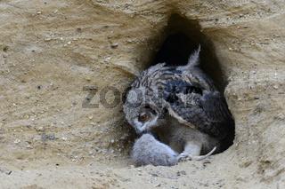vorsichtig... Europäischer Uhu *Bubo bubo*, Jungvogel untersucht ein Beutetier ( junges Nutria )