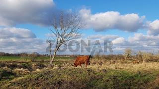 Schottische Hochlandrinder weiden in einem Niedermoor im Norden von Berlin