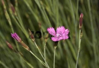 Heidenelke Dianthus deltoides