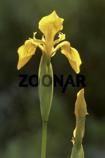 Wasser-Schwertlilie (Iris pseudacorus)