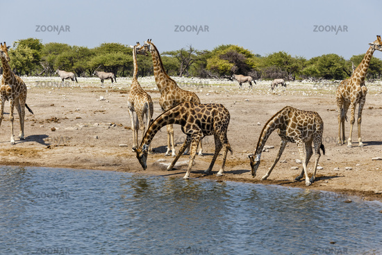 Giraffe (Giraffa) am Wasserloch, at the water hole,