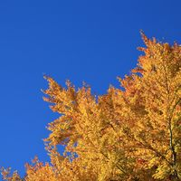 Golden branches of a beech tree in autumn and blue sky.