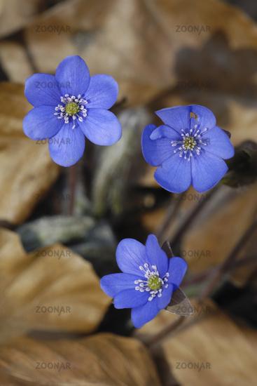 Dreilappiges Leberbluemchen (Hepatica nobilis)