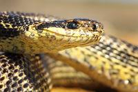 macro portrait of a blotched snake ( Elaphe sauromates )