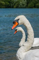 Beautiful two white swans