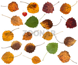 set of various leaves of aspen trees isolated