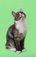 Beautiful two-tone color cat on green background