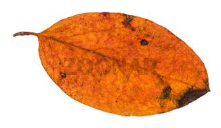 autumn rotten leaf of malus tree isolated