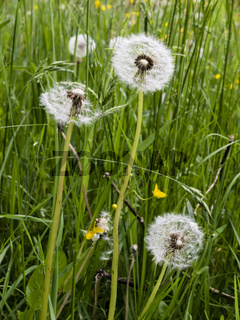 Pusteblume in der Wiese, common dandelion in a meadow