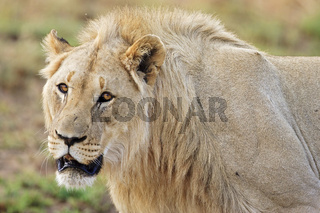 Loewe maennlich (Panthera leo) Pilanesberg National Park, male lion in Pilanesberg Game Reserve, South Africa