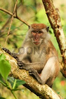 Long-tailed Macaque-Langschwanzmakak-Borneo-Malaysia